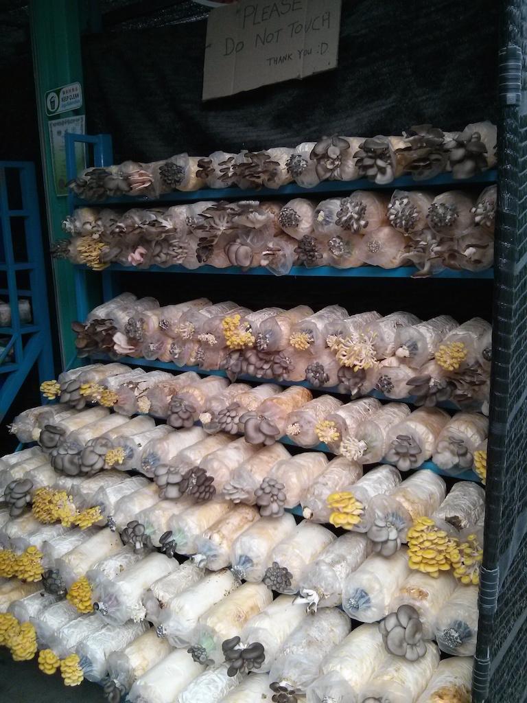 Culture de champignons sous serre