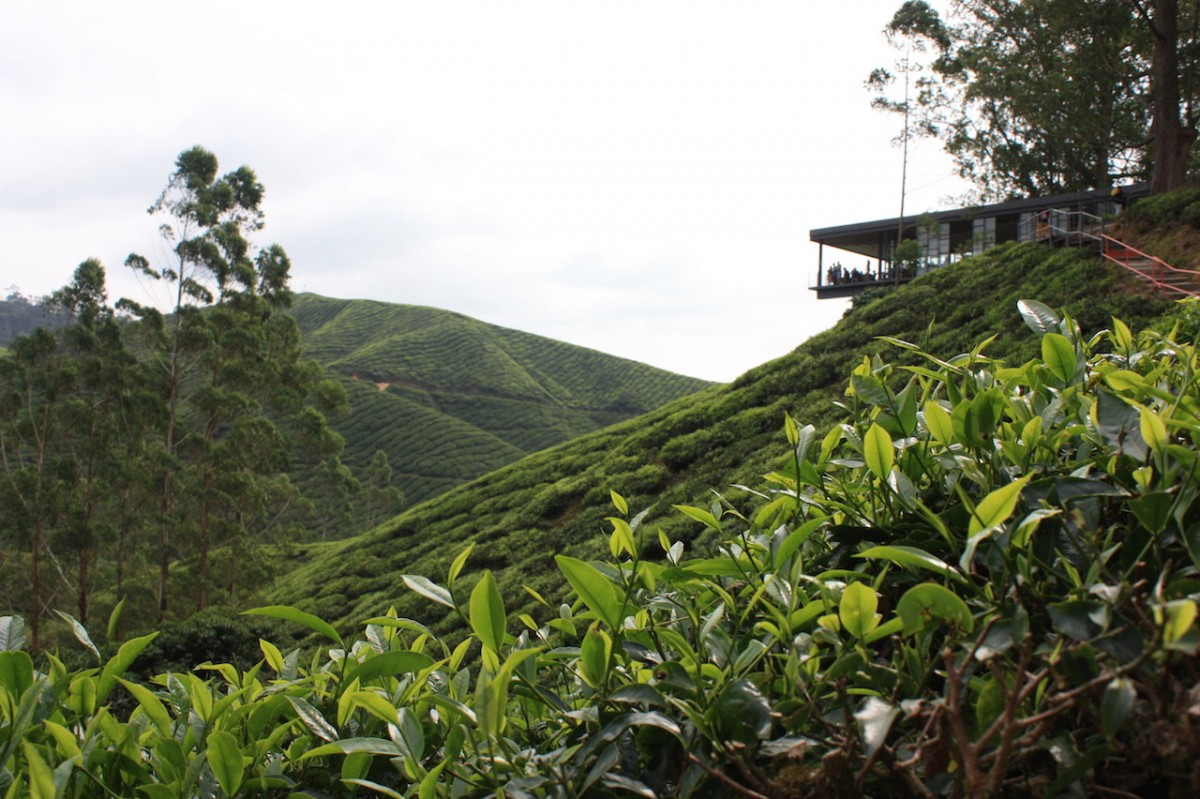Bho tea plantation